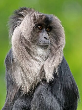 Close-up photo of wild Macaca silenus in nature Stockfoto