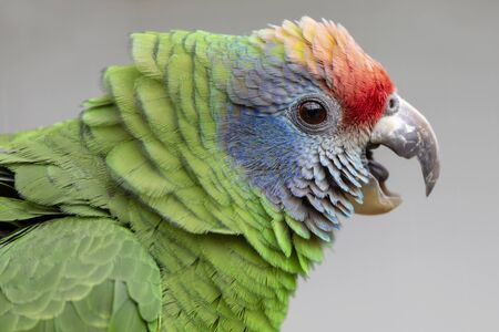 close up of wild colorful red-tailed Amazon parrot Stockfoto