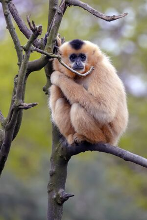 Female Yellow-cheeked gibbon in a tree Stockfoto