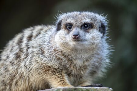 Close up of a meerkat in nature