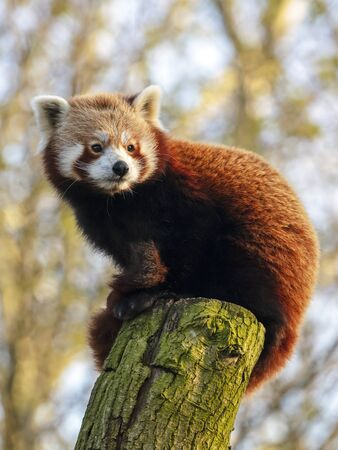 Red panda on tree in nature, close up