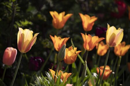 beautiful tulips on background,close up