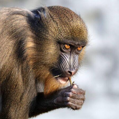 Mandrill monkey animal on background, close up