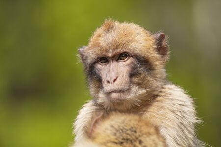 Barbary macaque monkey on background,close up