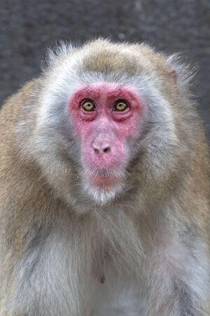 Close up portrait of a Japanese macaque