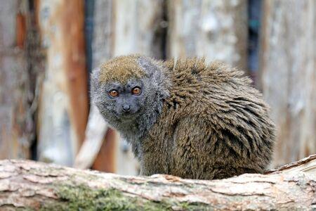Bamboo lemur in natural habitat Stockfoto