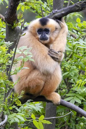 Female Yellow-cheeked gibbon in a tree Stock fotó