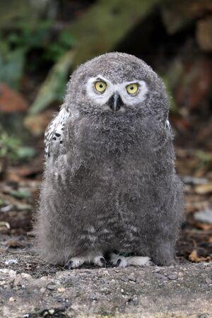 young snow owl portrait
