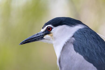 Black-crowned night heron on tree branch