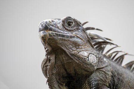 Iguana animal on background,close up