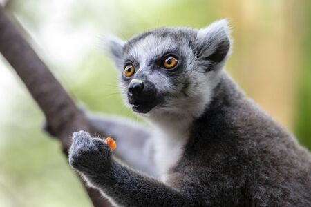 Ring-tailed lemur on background,close up