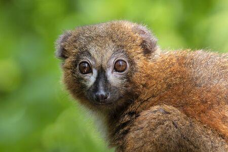 Red bellied lemur in natural habitat