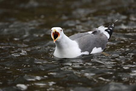 sea gull bird on background, close up