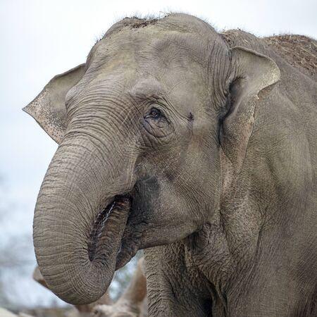 Big Indian Elephant animal on background