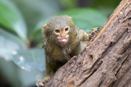 portrait of a Pygmy marmoset in natural habitat Stock fotó