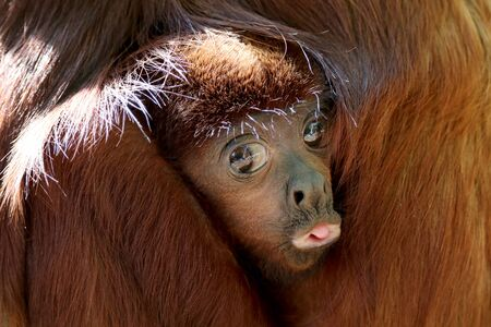 Red howler monkey baby