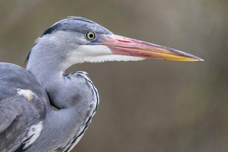 Grey heron bird in natural habitat Stok Fotoğraf