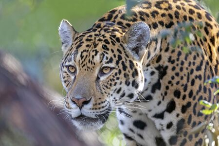 Closeup portrait of Jaguar on blurred background