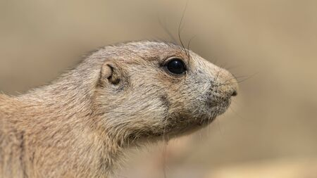 Close up of Prairie dog in nature