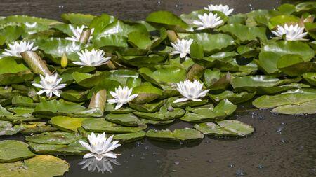beautiful white water lilies