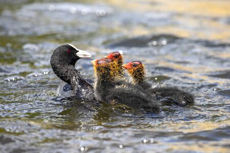 mother Eurasian coot bird with babies on lake