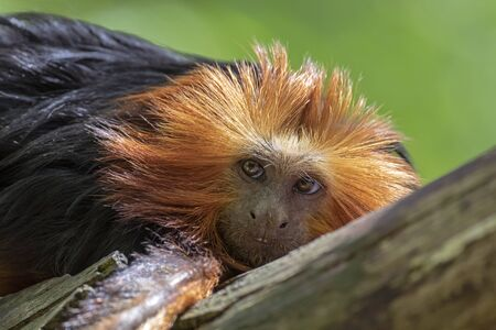 Close up of Golden-headed lion tamarin monkey on tree