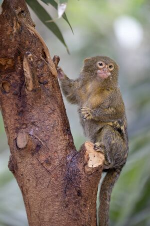 portrait of a Pygmy marmoset in natural habitat Stockfoto