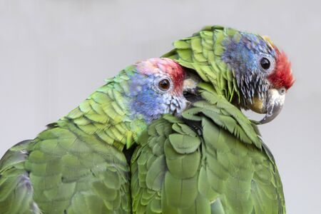 close up of wild colorful red-tailed Amazon parrots Stock Photo