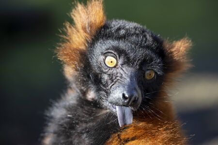 Red lemur in bright sunlight outdoors, close up shot