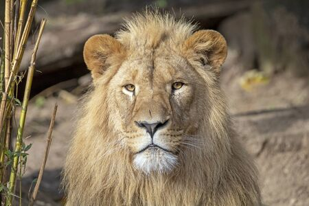 portrait of young male lion in natural habitat