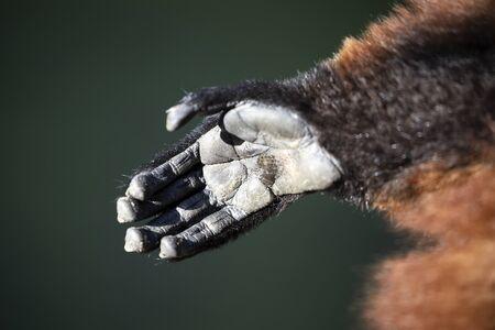 lemur monkey hand, close up shot