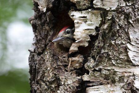 Cute Woodpecker bird peeking out from tree hole 版權商用圖片