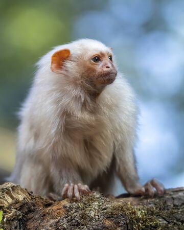 Mico argentatus, cute monkey sitting on mossy tree branch