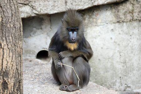 Cute mandril monkey (Mandrillus sphinx) playing with stick Reklamní fotografie