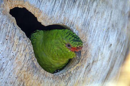 Green parrot peeking from tree hole