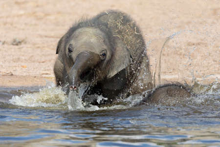 small elephant playing in water shot in natural habitat