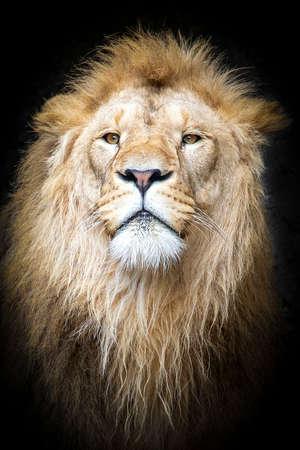 adult lion on dark background