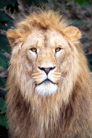 male adult lion shot in natural habitat