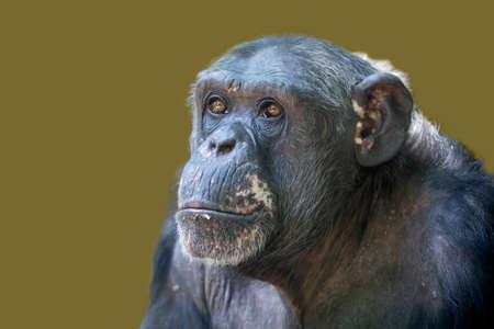 female chimpanzee monkey shot in natural habitat