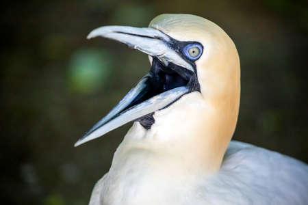 white Northern gannet bird (Morus bassanus) with open beak in sunlight Фото со стока