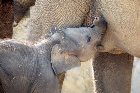 small elephant drinking milk from mother shot in natural habitat
