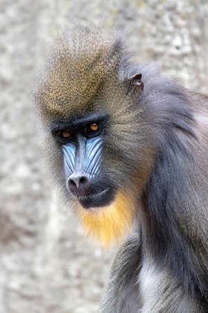 angry baboon (Mandrillus sphinx) shot in natural habitat Фото со стока