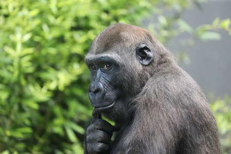 Young Gorilla shot in natural habitat Фото со стока