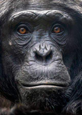 chimpanzee monkey shot in natural habitat