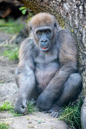 Close up portrait of a young female Western Lowland Gorilla (Gorilla Gorilla Gorilla)