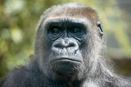 Close up portrait of Western Lowland Gorilla female (Gorilla Gorilla Gorilla)