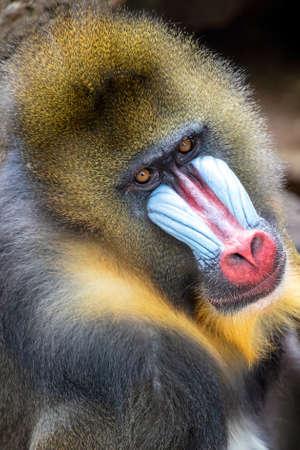 Male mandrill monkey (Mandrillus sphinx)