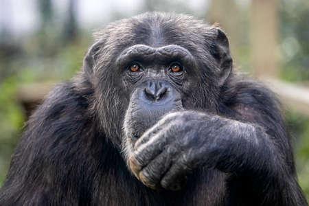 Close up portrait of Chimpanzee (Pan Troglodytes)