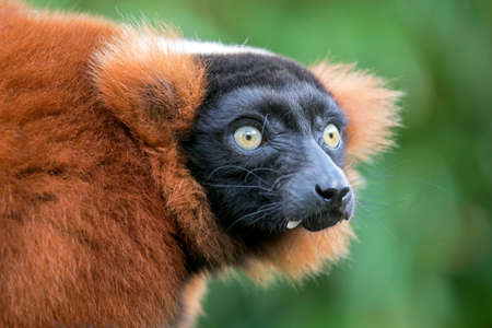 red ruffed lemur looking away