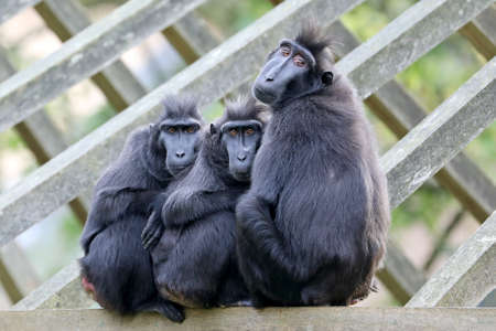 three Celebes crested macaques sitting together
